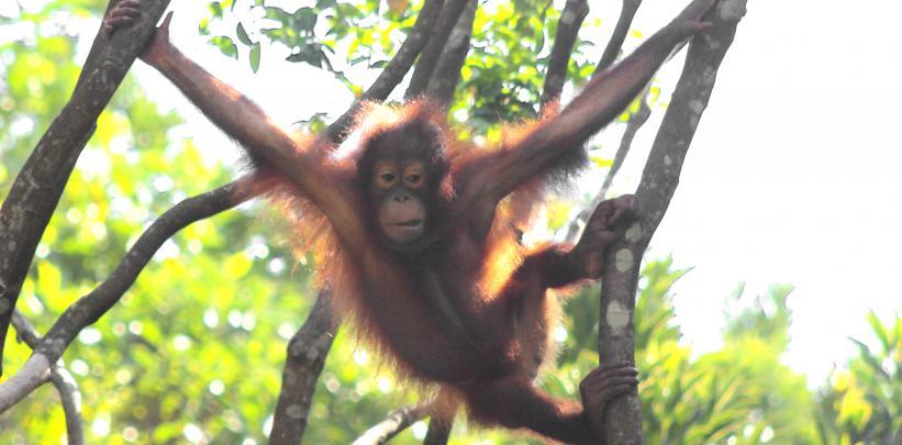 Borneo - Orangutang