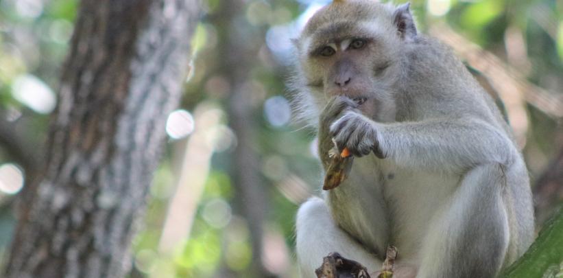 Borneo - Macaque